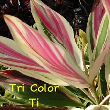 Tri Color Cordyline Seeds - Tropical Colourful - RARE - Exotic - Aussie Seller