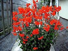 """Alonsoa meridionalis """"Rebel"""" (Mask Flower) x 100 seeds. Flower in 12 weeks."""