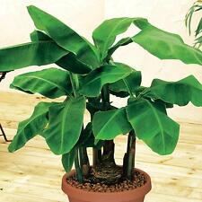 10 Fresh Musa Acuminata edible Dwarf Banana tree plant seeds tropical fruit - US