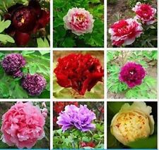 10 Semillas de Peonia Mixta China  (Paeonia suffruticosa)