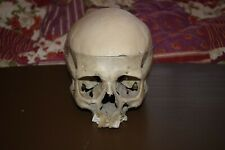 Authentic Medical Skull