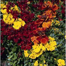 Kings Seeds - Freesia Royal Crown Mix - 30 Seeds