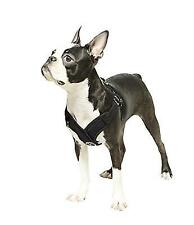 New listing Gooby Choke Step-in Comfort X Dog Harness, Large, Black,