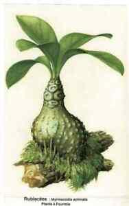 Ancienne Affiche Botanique Art Print Plante à Fourmis Répulsifs naturels Fleur