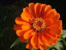 250 CLASSIC ORANGE ZINNIA Elegans Flower Seeds *Comb SH