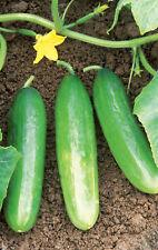 Cucumber Diva, 20 seeds  non-gmo