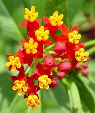 Asclepias Cyrassavica Seeds - Sunset Flower - Hummingbird Garden - 25 Seeds