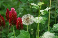 Organic Crimson Clover Seeds Fixes Nitrogen in Soil  -  Cover Crop.