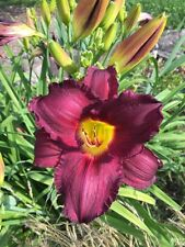Daylily Game Of Chance dark purple Hemerocallis perennial ~ Df or 2 plants