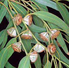 huile essentielle EUCALYPTUS GLOBULUS 100% pure et naturelle 10 ml
