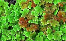 Azolla caroliniana plante flotante bassin/aquarium RARE