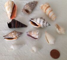 10 Schneckenhäuser Meeresschnecken Deko für Aquarium,Terrarium,Gartenteich    3