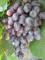 Kernlose Weintraube Magdalena - Vitis vinifera Magdalena
