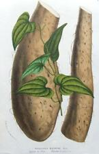 DIOSCOREA BATATAS,CHINESE YAM  Van Houtte, Antique Botanical Print c1850