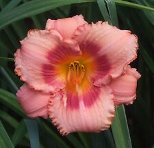 Daylily Plant Strawberry Candy (Stamile) Pink Rose Rebloom Daylilies Flower Df