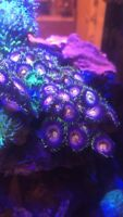Nirvana Zoa Paly Live Coral