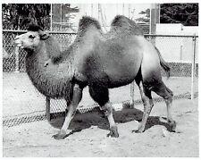 1954 Vintage Photo Celia the Camel at his Fleishhacker Home at San Francisco Zoo