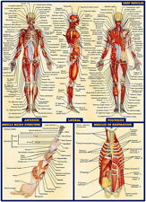 """03 Human Anatomy All System Deep Muscles Map 14""""x19"""" Poster"""