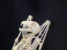 Véritable squelette de chauve souris Eonycteris spelaea 15 cm ostéologie