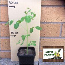 MORINGA OLEIFERA SEEDLINS/TREE (20-30cm) With 3 Free Seeds