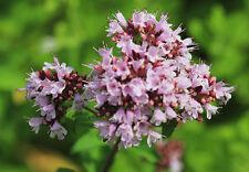 OREGANO   2500 origanum vulgare AROMATICA Semillas Seeds