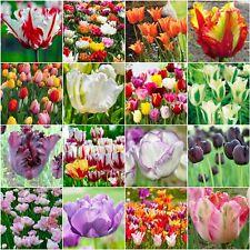 SPRING FLOWERING BULBS 'TULIPS' HARDY SPRING GARDEN PERENNIAL BULBS