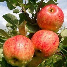 Fiesta Apple Tree 4-5ft in 5L Pot, Self-Fertile ,Sweet,Sharp & Juicy
