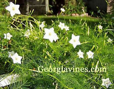 Ipomoea quamoclit Cypress Vine White 10 seeds