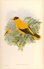J Gould riproduzione BIRD print 0riolus CHINENSIS da volatili dell' Asia.