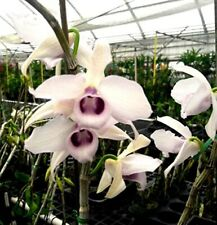 Xl Dendrobiumanosmum (Hono Hono) 'Lb' x 'Blue Boy' orchid
