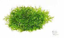"Riccia fluitans Crystalwort Live Plant  3"" x 3"" Moss Foreground Aquarium Plant"