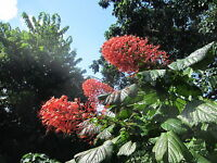 "~18"" Tall Pagoda Flower Clerodendrum paniculatum Tropical Flower Plant"
