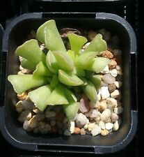Adromischus cristatus var. clavifolius in 65mm square pot cacti and succulents