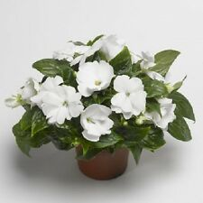 Impatiens Seeds 25 New Guinea Impatiens Seeds Florific White