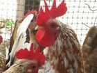 10 Fresh Fertile Serama(Bantam) Hatching Eggs
