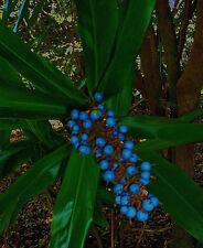 10+ Rare edible! Australian Blue Fruit Ginger, Alpinia caerulea tropical seeds