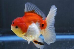 Live Calico Rosetail Oranda Male Fancy Goldfish