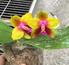 Fragrant Phalaenopsis Ld'S Bear Queen Orchid Plant - 2 spikes