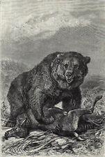 Grizzly Bear 1894 Mammal - Friedrich Specht Victorian Engraving