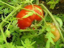 Silvery Fir Tree Heirloom Tomato Seeds