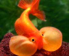PREMIUM Red Bubble Eye Goldfish - 2 - 2.5 inches live freshwater aquarium fish