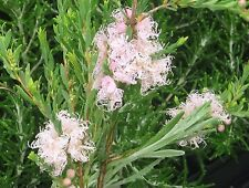 Melaleuca thymifolia Pink Lace in 75mm supergro tube native plant