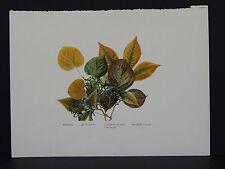 Leaves, Trees, Basswood White Cedar Flowering Dogwood Shagbark Hickory #5 c.1910
