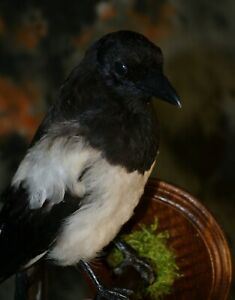 1 PC  Stuffed magpie Taxidermy Mounting Wall Handmade #2