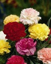 Kings Seeds - Carnation, Giant Chabaud Mixed -  120 Seeds
