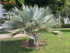 10x Palmen Samen Brahea armata (blaue Hesperidenpalme) Winterhart -12°C