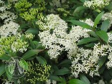 Cornus paucinervis ( 10 graines /seeds )