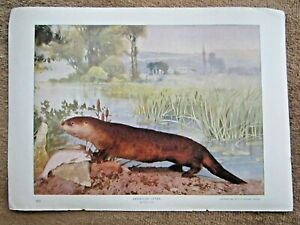 1900 ANTIQUE AMERICAN OTTER ANIMAL LITHOGRAPH PRINT