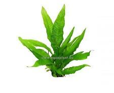 5 Bunde(1,90€/Bund) Javafarn Pteroptus, Wasserpflanzen, Aquarienpflanzen,