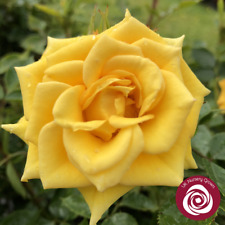 FLOWER POWER GOLD   Patio Bush Rose   4Ltr Potted Rose Plant   Yellow & Scented